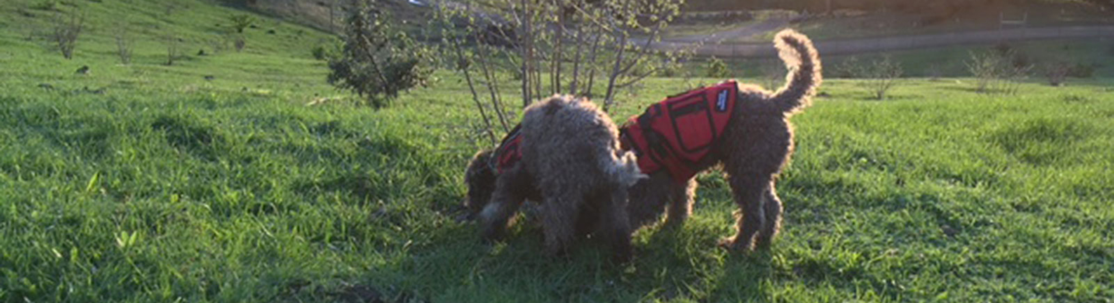 Truffle Dog Trainning